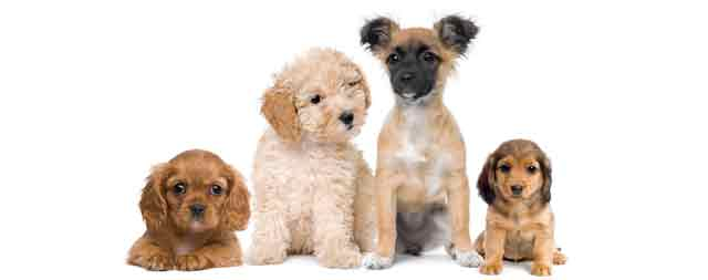 four-dogs-white-background-640x253px