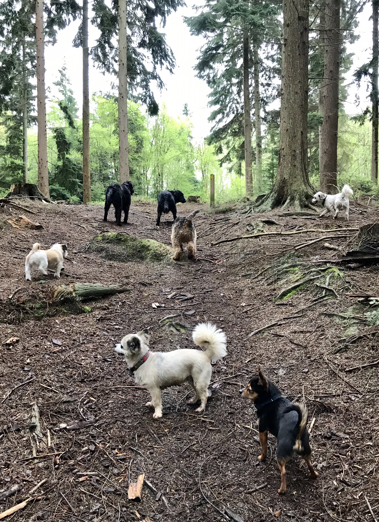 Dog walker and her tribe walking through the forest in Burwash