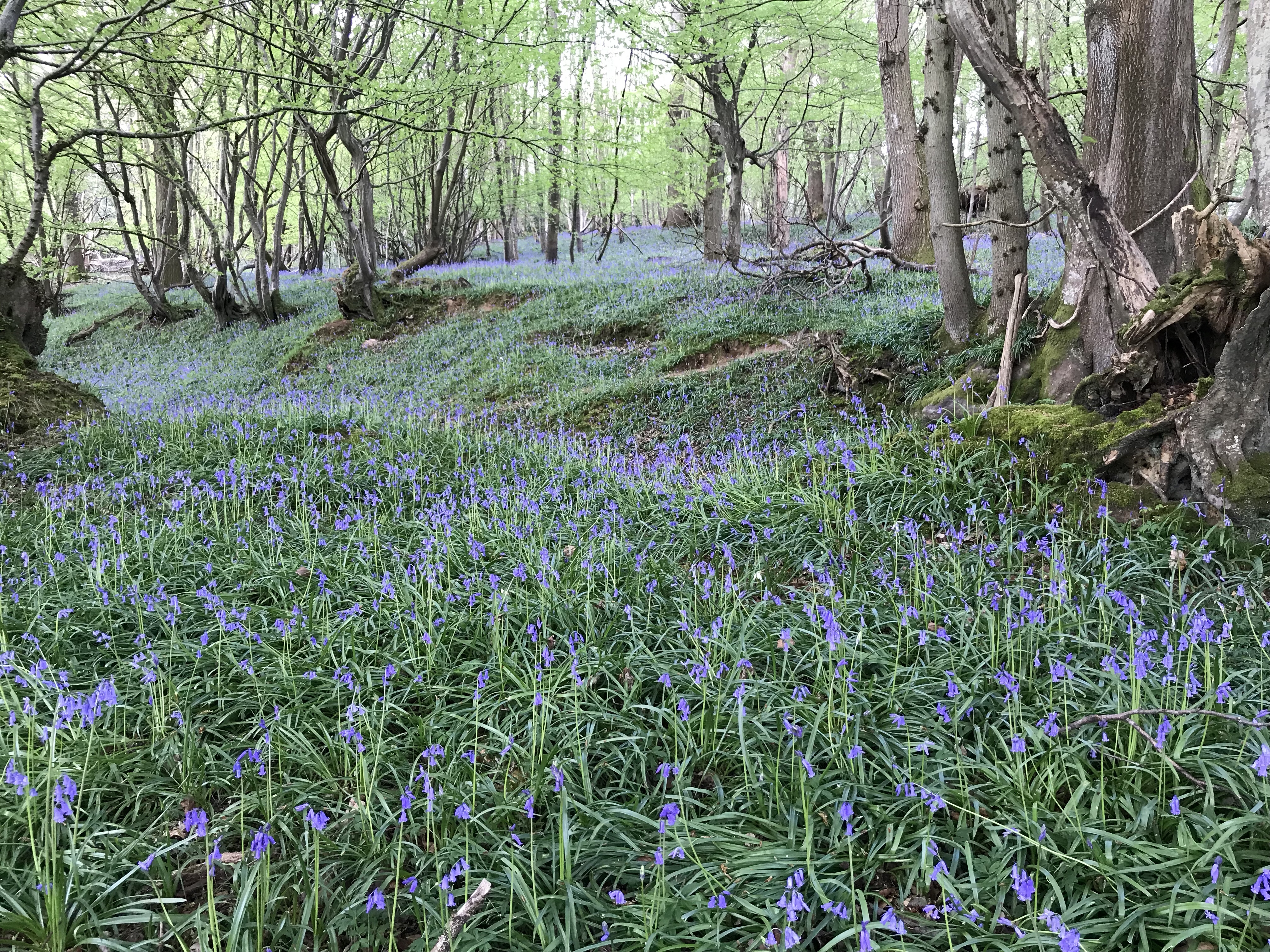 Brightly coloured bluebells (wild flowers) in the woods in mayfield
